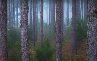 Foggy start... Pine Trees, North Carolina