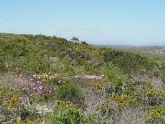 P9160184 West Coast National Park Flowers (Joanna P Dale) Tags: westcoastnationalpark flowers scenery southafrica omdem1 mk1 olympus 35mmzuiko 35mmmacro