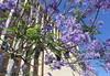 Lilac city symphony (WinRuWorld) Tags: jacaranda purple tree jacarandamimosifolia bignoniaceae bluejacaranda blackpoui ferntree cityscape newcastle merewether nsw newsouthwales australia treesofbrazil botany flora outdoors lilac canon efs1855mmf3556isii canonphotography city