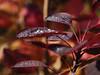 Herbst (vipfoto) Tags: herbst pflanzen makro autumn leaves blätter natur bokeh herbstfarben tau morgentau dew morningdew