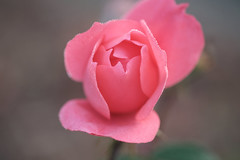 Another history of a pink rose (christophe.laigle) Tags: rose délicatesse christophelaigle fleur macro nature pluie pink flower fuji drops droplets gouttes xpro2 xf60mm softness