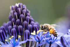 More Bee Macro (Amy Maher) Tags: macro purple blue flower pollen insect bee
