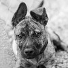 Guinness21Oct201782-Edit.jpg (fredstrobel) Tags: dogs pawsatanta phototype atlanta blackandwhite usa animals ga pets places pawsdogs decatur georgia unitedstates us