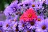 pink flower (Lilith-Luana) Tags: pink lila farbenfroh farben blumen blühen herbst natur landschaft landscape pflanzen nature blossom nikonflickraward