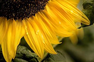 Water Drops on Sunflower 3-0 F LR 8-26-17 J064