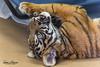 Tiger(s) vs Cot (ToddLahman) Tags: dc sumatrantiger babysumatrantiger indoor beautiful canon7dmkii canon canon100400 closeup tiger tigercub sandiegozoosafaripark safaripark animal animalcarecenter