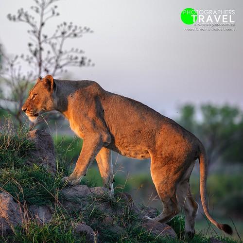 Lioness - Sabi Sabi 2012