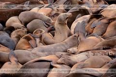 Disruptor (ficktionphotography) Tags: california nature pier39 sealion wildanimals cuddlepuddle sanfrancisco