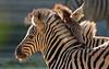 Damara zebra Duisburg BB2A2629 (j.a.kok) Tags: zebra damarazebra equus herbivore animal afrika africa duisburg mammal zoogdier dier