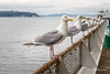 """""""You could spare some food."""" (John H Bowman) Tags: washington kingcounty seattle animals smallanimals birds gulls baysinlets pugetsound elliottbay cloudyskies boats ferries july2017 july 2017 canon24704l"""