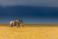 "Ngorogoro elephant • <a style=""font-size:0.8em;"" href=""http://www.flickr.com/photos/106269596@N05/37297449550/"" target=""_blank"">View on Flickr</a>"
