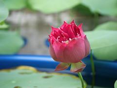 Nelumbo nucifera 'Russell' Wahgarden Thailand 3 (Klong15 Waterlily) Tags: russell nelumbo sacredlotus lotus lotusflower flower landscape wahgarden