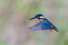 Kingfisher hover....... (klythawk) Tags: kingfisher alcedoatthis hovering nature wildlife autumn blue green orange pink grey black white nikon d500 sigma 150600mmc deltahide attenboroughnaturereserve beeston nottingham klythawk
