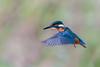 Kingfisher hover....... (klythawk) Tags: kingfisher alcedoatthis hovering nature wildlife autumn blue green orange pink grey black white nikon d500 sigma 150600mmc deltahide attenboroughnaturereserve beeston nottingham klythawk