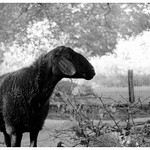 black sheep thumbnail
