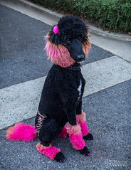 Carmel Poodle Parade 2017 (Don Dunning) Tags: animals blackpoodle california carmel carmelpoodleparade carmelbythesea dogs mammals poodle unitedstates