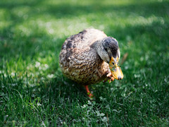 """Duckeh"" (HunterProduction) Tags: bird duck anatra uccelli volatili watching birdwatching macro bokeh sfocato helios papera becco natura animal pets nature animali zoom grass green verde erba garda lago lake"