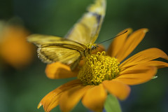 20170926_F0001: The polka dotted eyes (wfxue) Tags: smithsonian nationalmuseumofnaturalhistory butterflypavilion museum animal plant butterfly flower leaf green yellow pollen insect eyes nature biology science macro
