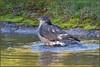 Sparrowhawk (image 2 of 3) (Full Moon Images) Tags: rspb sandy lodge thelodge wildlife nature reserve bedfordshire bird birdofprey washing bath bathing sparrowhawk