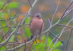 Buchfink - chaffinch (Sophia-Fatima) Tags: mygarden meingarten naturgarten gardening buchfink chaffinch