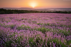 Meadow of lavender. (Igor Goncharenko) Tags: green grass field color landscape outdoor cloud summer perfume beauty rural meadow spring flower sky lavender background agriculture farm relax purple plant scene vacation vibrant lavendar sunny scent provence nobody row travel country nature europe violet bright blue botany floral countryside france mountain leaf lawn garden hill land plateau pink