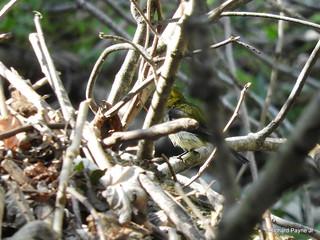 Black-throated Green Warbler_N7048