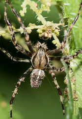Arachtober 03 - Araneus diadematus (male) (Anne Richardson) Tags: southamptonoldcemetery arachnid arachtober spider macro macrophotography nature wildlife araneus orbweaver