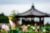 SYS_5675 (Daegeon Shin) Tags: nikon d750 sigma sigma70200mmf28hsmos 70200f28 lotus ovario 씨방 ovary belvedere quiosco 정자 kiosk dof 니콘 시그마 연꽃 심도 bokeh 빛망울 보케