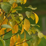 Mellow Yellow thumbnail