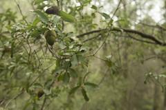 bellota2 (joanferroy) Tags: naturaleza bosque bosc woods mushroom seta bolet nature naturalesa catalunya bellota acorn
