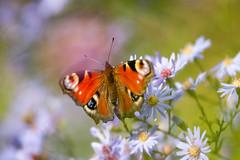 Madame Butterfly (Ans van de Sluis) Tags: ansvandesluis bokeh bokehlicious botanic botanical colours flora floral flower light macro nature shadow butterfly madamebutterfly october