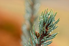 First, the Rain, Then Next, the Snow - Blue Spruce - IV (Ginger H Robinson) Tags: rain water droplets colorado blue spruce tree conifer branch needles plant autumn fall morning macro