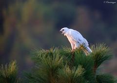 The Legend of the White Hawk (Omnitrigger) Tags: hawk whitehawk redtailedhawk leucistic leucistichawk nature wildlife omnitrigger santaclaracounty california buteo leucism