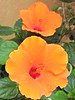Orange creams (Couldn't Call It Unexpected) Tags: alcudia balearic mallorca spain orange stem petal flowers