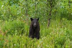 You Don't Want to Hug a Wet Bear (MIKOFOX ⌘ Thanks 4 Your Faves!) Tags: cassiarhwy june learnfromexif blackbear canada provia grass xt2 mikofox cassiar britishcolumbia bear animal dandelion bc fujifilmxt2 showyourexif spring columbine mammal xf18135mmf3556rlmoiswr