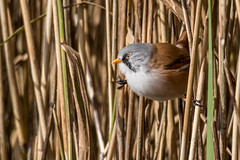 Bearded Tit (m) (Esox2402) Tags: beardedtit reedling reeds bird wildlife canon7dmkii sigma150600mm