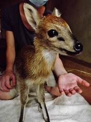 "Duiker • <a style=""font-size:0.8em;"" href=""http://www.flickr.com/photos/152934089@N02/37582845662/"" target=""_blank"">View on Flickr</a>"