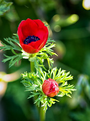 Anemone pop (jayneboo) Tags: 365 garden home flower anemone colour red purple green