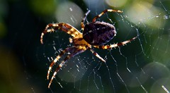 Beautiful spider in his web. (ericwouwenberg) Tags: macromondays macromonday happymacromonday macro spider beautiful
