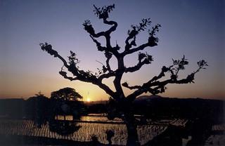 Kusatsu Rice Field