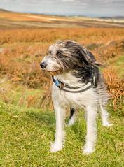 _DSC02398877666-2333 (SteveKenilworth2014) Tags: terrier lane mountains mountain cliff cliffs clouds nikon d5300 18105mm lightroom photoshop dog lurcher polarizer panorama stitch bw