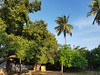 Banyean tree, Coconut palm and yellow oleander plant in a village temple (M.K.Muruganandan) Tags: munniappartemple sakkottai pointpedro banyantree yellowoleander coconutpalm bluesky village banyanfruit