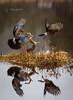 Fighting jays (CecilieSonstebyPhotography) Tags: eurasian eurasianjay norway autumn bird birds fall fight fightingjays flight grass høst jay jays lake nøtteskrike october quarrel reflection spurvehauk straws water wings specanimal specanimalphotooftheday