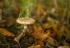 fungi (paul hitchmough photography 2) Tags: fungi mushroom nature macro boken liverpool paulhitchmoughphotography nikond800 nikon2470mm nikonphotograhy light