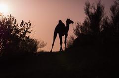 Rajasthan - Jaisalmer - Desert Safari with Camels-35