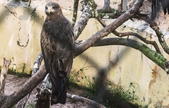 AQUILA    ----    EAGLE (Ezio Donati is ) Tags: animali animals uccelli birds alberi trees acqua water natura nature africa costadavorio arealaguneassinie