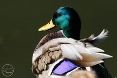 Male Mallard (sjfreeman88) Tags: mallard duck feathers sunny autumn sun priorpark bath uk nikon sigma