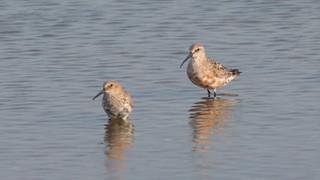 Pilrito de bico comprido - Calidris ferruginea - Curlew Sandpiper