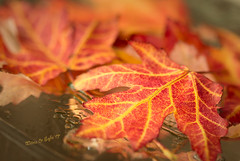 Sofie's Autumn Leaves - Autumn 2017 (Wilma v H-Thankfull for all your lovely comments a) Tags: sofie autumnscenics autumncolours autumnleaves autumn2017 leaves stilllives droplets fallscenics fall light details mirror bokeh dof maple mapleleaves japanesemapleleaves plants nature granddaughter grandchildren children photography learning luminositymasks tkactionsv5panel canoneos60d canon100mm28f macro closeup dordrecht nederland oudkrispijn herfst herftsbladeren herfstkleuren 2017