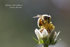_MG_3785_DxO1 (christophefbt) Tags: chauvigny aquitaine 86 nouvelleaquitaine poitou poitoucharentes vienne chauvignyatelierphoto insecte insecta insect france fleur nature naturaleza